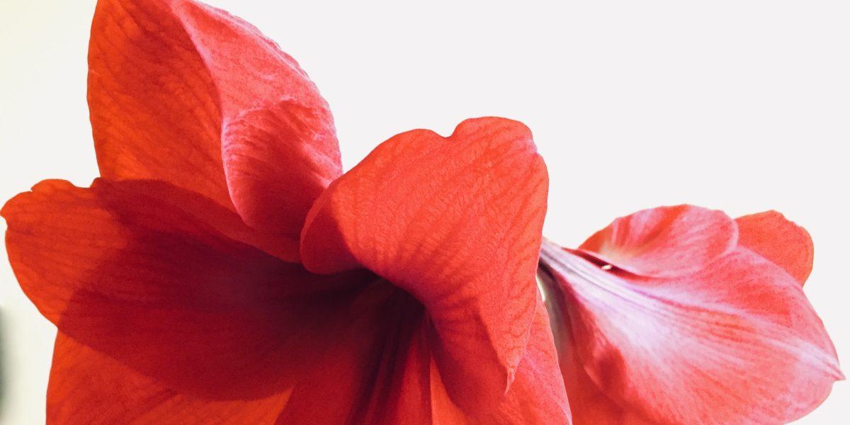 Rote Amaryllis-Blüten
